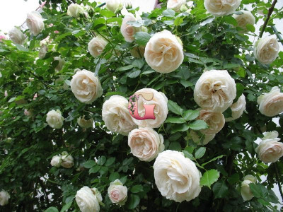 Роза Пале Рояль | Palais Royal (плетистые) (Весна 2021 г)