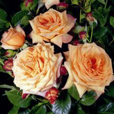 Роза Барок | Barock (плетистые)