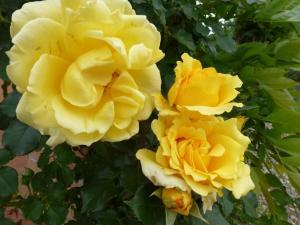 Роза Римоза | Rimosa (плетистые)(осень 2021 г)