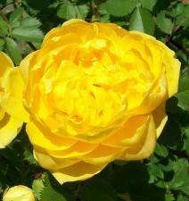 Роза Римоза | Rimosa (плетистые)