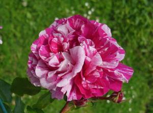 Роза Инес Састр | Ines Sastre (плетистые)