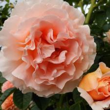 Роза Полька | Polka (плетистые)
