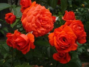 Роза Салита   Salita (плетистые)(Осень 2021 г)