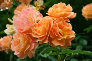 Роза Вестэрланд | Westerland (плетистые)