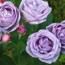 Роза Индиголетта | Indigoletta (плетистые)