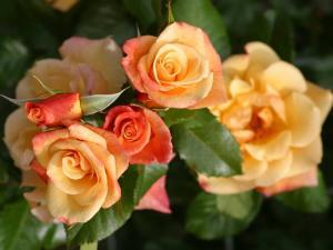 Роза Мунлайт | Moonligh (плетистые)
