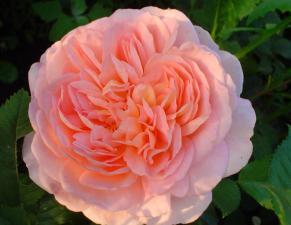 Роза Абрахам Дерби | Abraham Darby (английские)(Осень 2021 г)