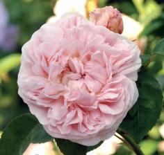Роза Сейнт Свизан | St Swithun (английские)