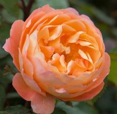 Роза Леди Эмма Гамильтон | Lady Emma Hamilton (английские) (осень 2021г.)