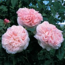 Роза Клэр Роуз | Claire Ros (английская)