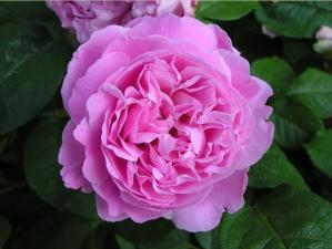Роза Мэри Роуз | Mary Rose (английская) (Осень 2021г.)
