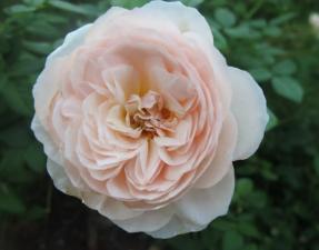 Роза Херитейдж | Heritage (английская) (Осень 2021 г.)