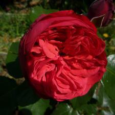 Роза Пиано | Piano (чайно-гибридные) (Весна 2021 г)