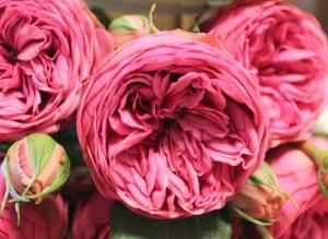 Роза Пинк Пиано | Pink Piano (чайно-гибридные)