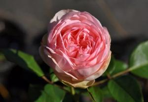 Роза Чарминг Пиано | Charming Piano (чайно-гибридные) (осень 2019 г.)
