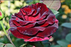 Роза Чёрная Магия | Black Magic (чайно-гибридная)