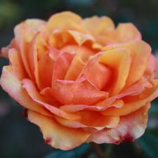 Роза Черри Бренди | Cherry Brandy (чайно-гибридные)