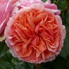 Роза Чиппэндейл   Chippendale (Чайно-гибридные)(Осень 2021г.)