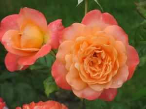 Роза Самаритянин | Samaritan (чайно-гибридные)
