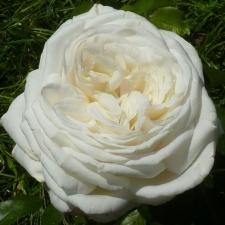 Роза Пьер Ардити | Pierre Arditi (чайно-гибридные)