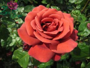 Роза Терракотта | Terrakotta (чайно-гибридные) (осень 2021 г.)