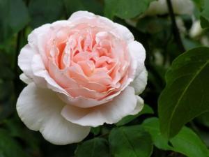 Роза Андре Ле Нотр | Andre Le Notr  (чайно-гибридные)