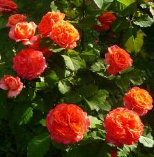 Роза Эмильен Гийо | Emilien Guillot (шраб) (Осень  2021г.)