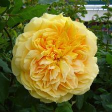 Роза Сто идей сада | 100 Idees Jardin (шраб) (осень 2020 г)