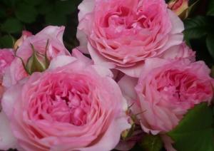 Роза Мадам Де Сталь | Mme de Stael (шраб)