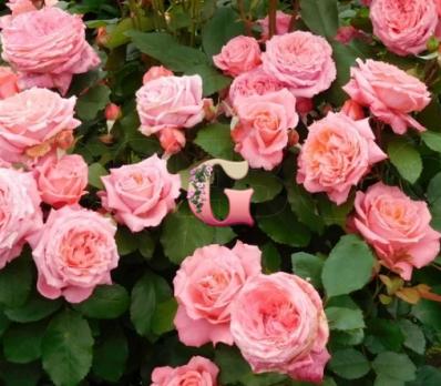 Роза Институт Люмьер | Institut Lumiere (шраб) (осень 2020 г)
