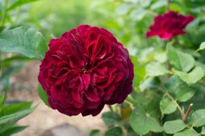Роза Бисантэнер де Гийо | Bicentenaire de Guillot (шраб)