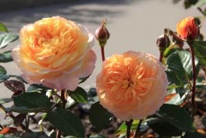 Роза Джордж Денжеан  | Georges Denjean (шраб)
