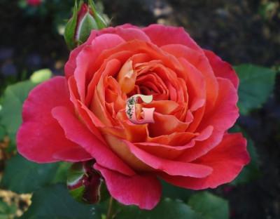 Роза Рен Саммю | Reine Sammut (шраб) (Осень 2021 г)
