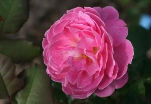 Роза Дэн Понсэ | Dan Poncet (шраб)