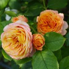 Роза Бэби Романтика | Baby Romantica (миниатюрные)