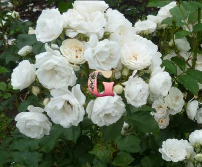 Роза  Нэж д`Этэ |  Neige d'Ete ( мускусные)