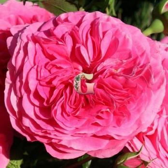 Роза Баронесса | Baronesse (флорибунда)