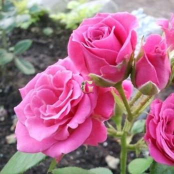 Роза Лавли Лидия | Lovely Lydia (миниатюрные)