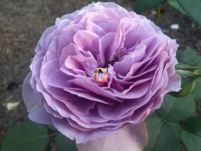 Роза Лавендер Айс | Lavender Ice  (миниатюрные)