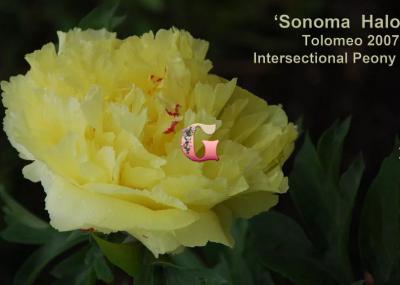 Пион Сонома Хало | Sonoma Halo (ИТО) (осень 2021 г.)