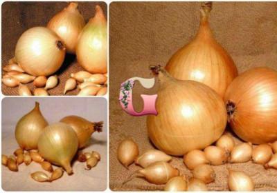 Лук севок Стурон (0.5 кг)