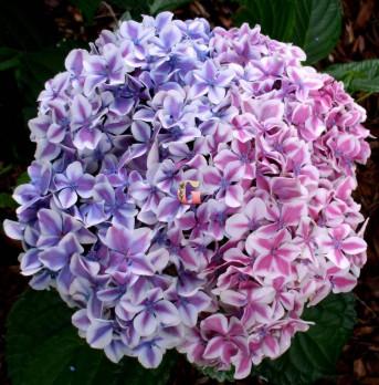 Гортензия крупнолистная Эвер Пепперминт |  Hydrangea macrophylla Ever Peppermint