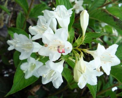 Вейгела цветущая Альба | Weigela florida Alba