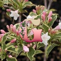 Вейгела цветущая Вариегата | Weigela florida variegata