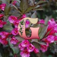 Вейгела цветущая Нана Пурпуреа | Weigela florida Рurрurеа Foliis Purpureis