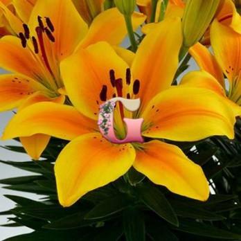 Лилия Голден Джой | Golden Joy (5 шт) AZ