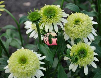 Эхинацея Пурпурная Ханидью | Echinacea purpurea Honeydew