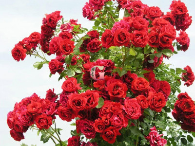 Роза Симпатия | Sympathie (Плетистые) (Весна 2021 г.)