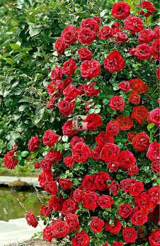 Роза Сантана | Santana (Плетистые)