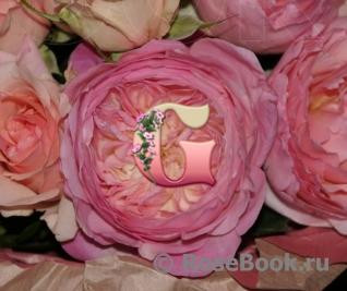 Роза Констанция | Constance (английская) (осень 2019 г.)